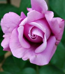 Flores 2009 1
