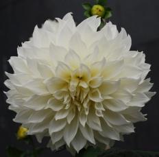 Flores 2009 6