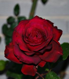 Nombre rosa D